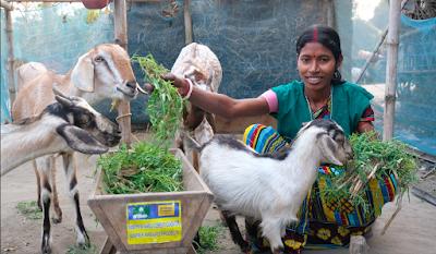 Livestock Rearing: Goat Based Livelihood